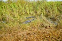 Alligator in everglades national park. Florida, USA stock image