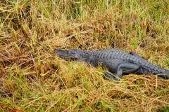 Alligator in everglades national park. Florida, USA royalty free stock photos