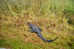 Alligator in everglades national park. Florida, USA royalty free stock photography