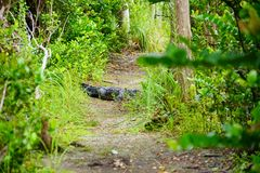 Alligator in everglades national park. Florida, USA royalty free stock images