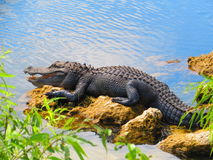 Alligator at Everglades. Everglades National Park, Florida - February 2017: alligator resting on the side of a river at the Everglades National Park Stock Photos