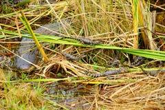 Alligator in everglades national park. Florida, USA stock photos