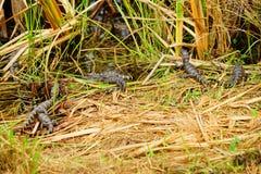Alligator in everglades national park. Florida, USA stock photography