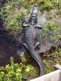 Alligator in the Everglades National Park Florida USA Royalty Free Stock Photography