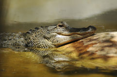 Alligator in Everglades National Park, Miami. USA royalty free stock images