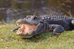 Alligator in Everglades park. Aggressive alligator in Everglades park in Florida Royalty Free Stock Image