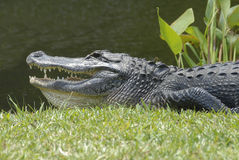 Alligator. In Everglades-park in Florida Royalty Free Stock Photo