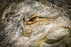 Alligator Eye Stock Photography