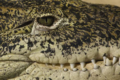 Alligator eye and teeth detail Royalty Free Stock Photography