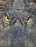 Alligator Eyes. Closeup view between an alligator's eyes, looking straight at you Stock Photos