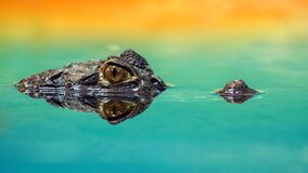 Alligator eyes above water Stock Photography