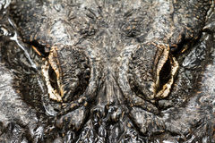 Alligator eyes. Close up image of the top of the head and eyes of an alligator Royalty Free Stock Photos