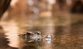 Alligator in water Royalty Free Stock Photography