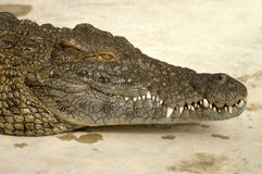 Alligator face Stock Photography