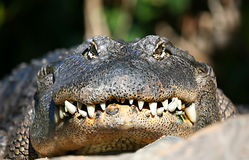 Alligator Face. A digital image of an alligator in a zoo in tenerife royalty free illustration