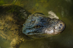 Alligator face close-up Stock Photography