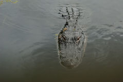 Alligator Face Coming Forward Stock Images