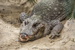 Alligator face Royalty Free Stock Photo