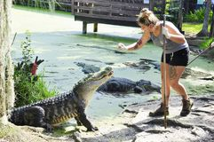 Alligator feeding. By the staff of the Jungle Adventures Nature Park & Zoo by the St.John`s River in Florida, USA royalty free stock image