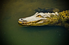 Caiman Royalty Free Stock Images