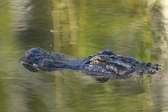 Alligator floating in water. Tight shot of an alligator head as it floats in the water Royalty Free Stock Image