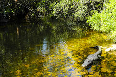 Alligator. An alligator floating in water near Everglades National Park, Florida Stock Photography
