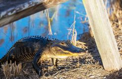 Alligator Royalty Free Stock Photos