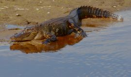 Alligator in Florida. An alligator with its reflection in a park in Florida Stock Photography