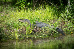 Alligator in Florida swamp. A large American alligator basking along the edge of the water in a Florida swamp stock images