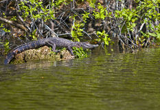 Alligator in Florida swamp Royalty Free Stock Photo