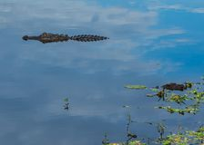 Alligator in the Clouds royalty free stock image