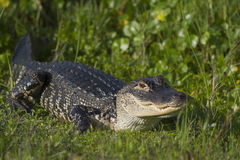 Alligator in Florida wetlands Royalty Free Stock Photo