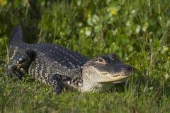 Alligator in Florida wetlands. Adult alligator in grass of Florida, USA wetlands Royalty Free Stock Photo