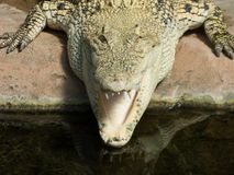 Alligator from the front with partially opened mouth royalty free stock images