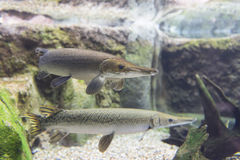 Alligator Gar Stock Images