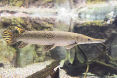 Alligator Gar Royalty Free Stock Images