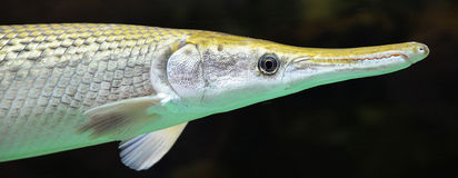 Alligator gar. American freshwater alligator gar in the aquarium Royalty Free Stock Images