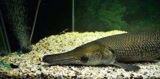 Alligator gar Royalty Free Stock Image