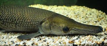 Alligator gar Stock Image