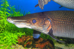 Alligator gar Royalty Free Stock Image