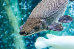 An Alligator gar Atractosteus spatula while swimming on a huge a. Quarium somewhere in asia. Colorful blue and greenish aquarium water with fishes stock photo
