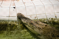 Alligator gets its head over the water. Stock Images