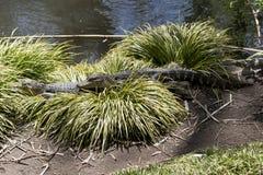 Alligator in Gras royalty-vrije stock afbeeldingen