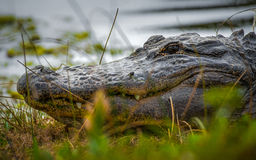 Alligator in the grass Royalty Free Stock Photo