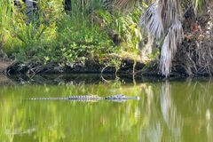 Alligator in the Green Swamp water Stock Images
