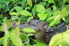 Alligator in groene bladeren Stock Foto