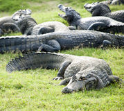 Alligator group. An alligator group on it's habitat Royalty Free Stock Image