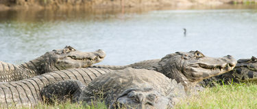 Alligator group. An alligator group on it's habitat Stock Images