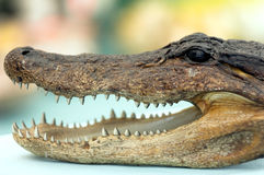 Alligator Head Stock Photo