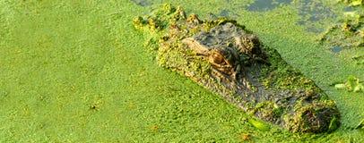 Alligator head Stock Photography